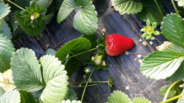 gros-plan-fraise
