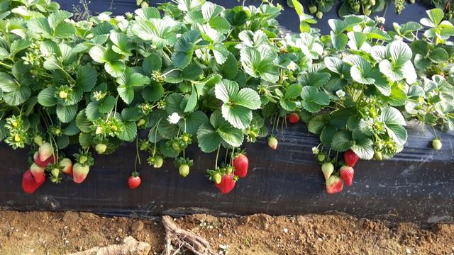 ranges-fraises