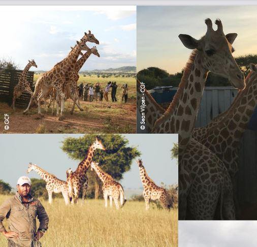 3-girafes